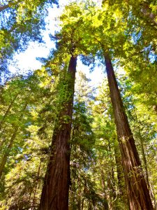 Giant redwood trees in the Armstrong Redwood State Nature Preserve, Sonoma County, CA.