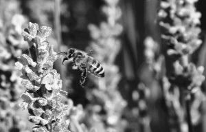 Bumble bee approaching a flower in a backyard in Spokane, Washington State.